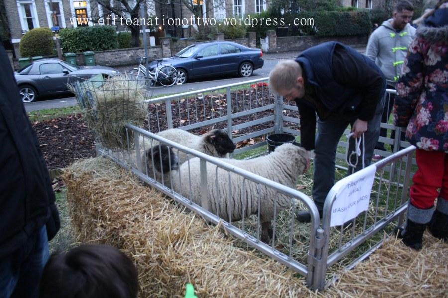 Blackheath Standard Live Nativity St John's sheep